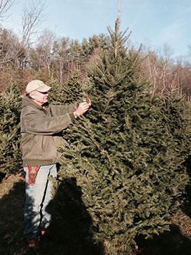 Nova Scotia Balsam Christmas Trees on the farm