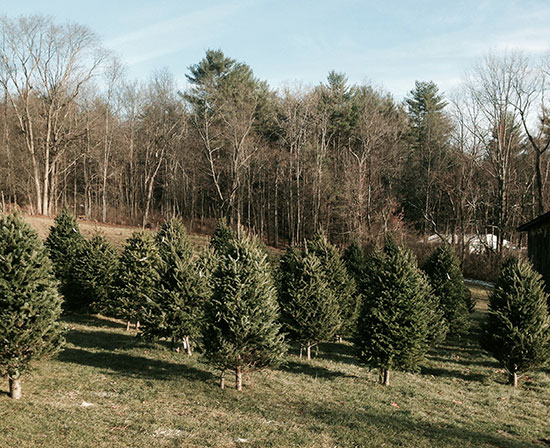 pre-cut Christmas trees CT