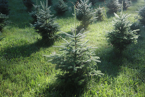 Christmas trees growing