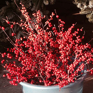 Holiday decorating with winterberries