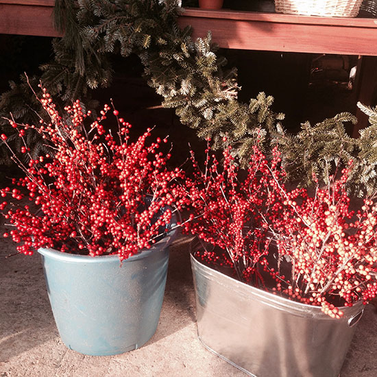 Winterberries for holiday decorating